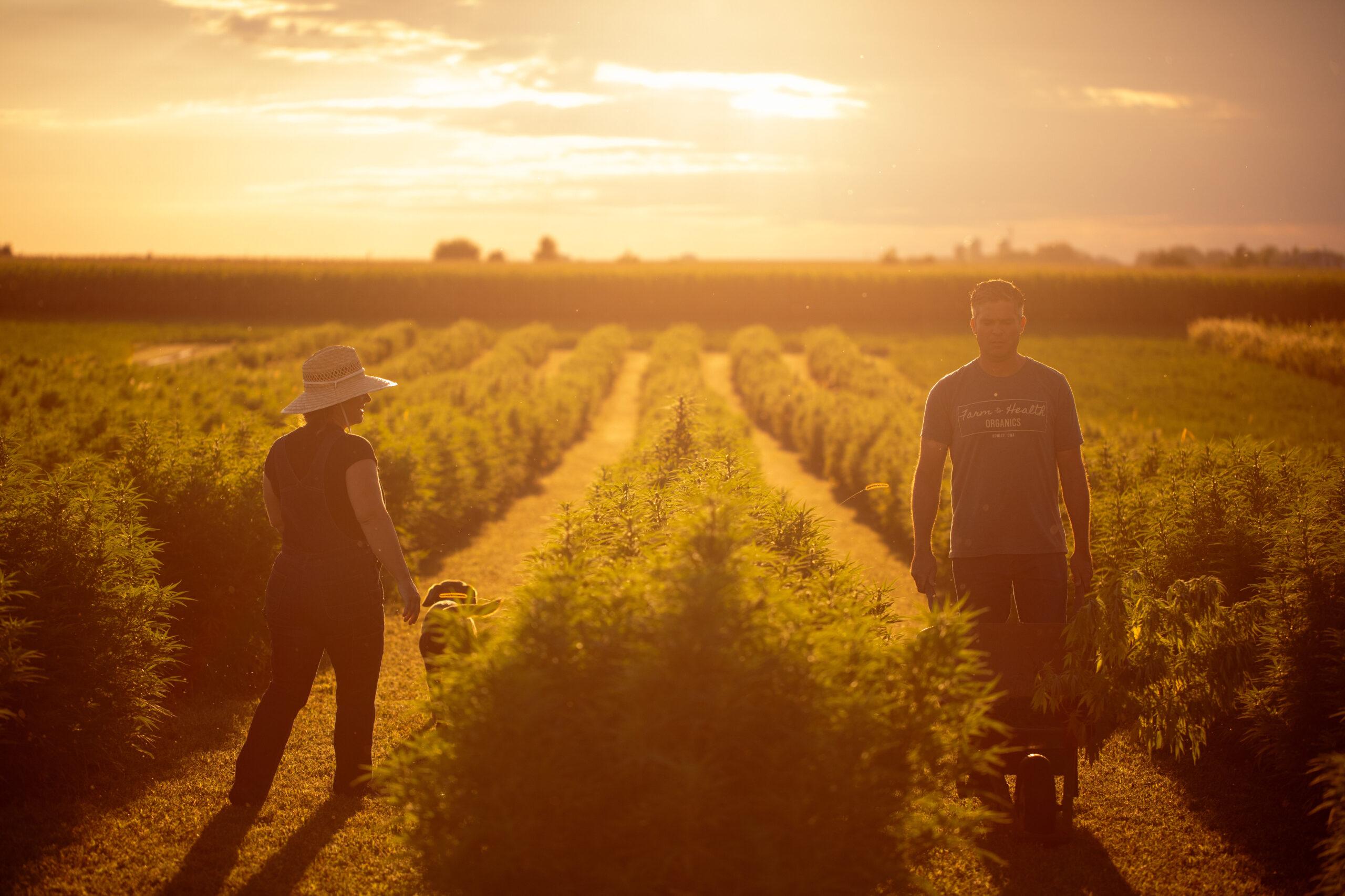 hemp harvest in Iowa