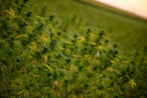CBD derived from hemp plants