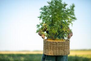 hemp plant extracted for cbd